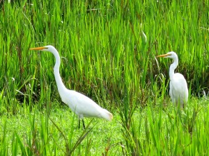 witte reigers