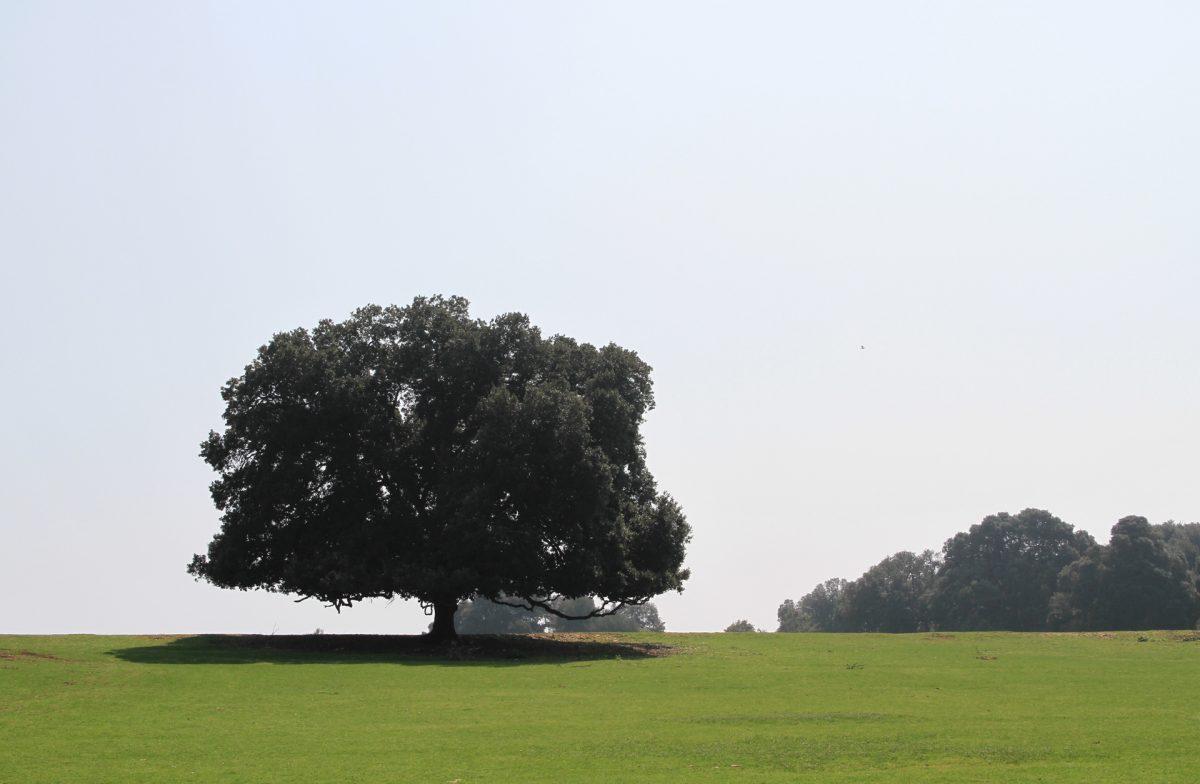 Brijuni, eikenboom, natuur Kroatie