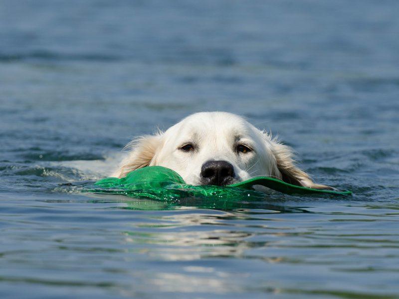 Zwemmende hond op vakantie