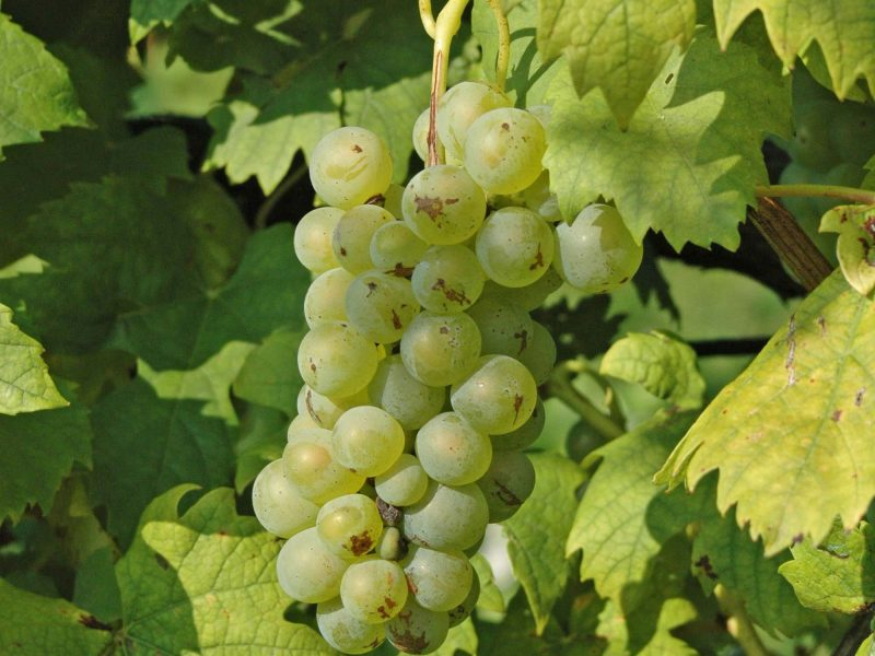 White grapes, Croatia