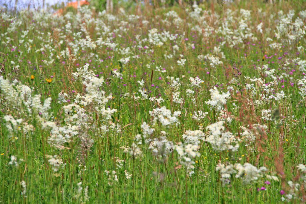 Field flowers in Medjimurje, Croatia